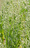 Oat plants (Avena sativa) Royalty Free Stock Photos