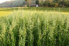 Oat Field. Oat rice Field in the morning Stock Photo