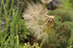 Oat Root plant seeds - Tragopogon Porrifolius Royalty Free Stock Photos