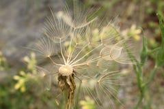 Oat Root plant seeds - Tragopogon Porrifolius Royalty Free Stock Photo