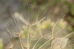Oat Root plant seeds - Tragopogon Porrifolius Stock Photos