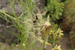 Oat Root plant seeds - Tragopogon Porrifolius Stock Photography