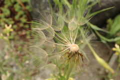 Oat Root plant seeds - Tragopogon Porrifolius Royalty Free Stock Photography