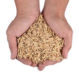 Oat seeds in the palm of hands Royalty Free Stock Images