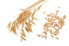 Oat spike with grains isolated on white background.  Stock Photo