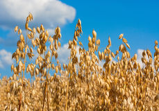 Oat Spikes On Field Royalty Free Stock Photo