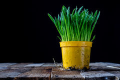 Oat sprouts in pot with watering can Stock Photography