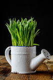 Oat sprouts in pot with watering can Royalty Free Stock Images