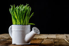 Oat sprouts in pot with watering can Royalty Free Stock Photography