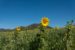 Oat sunflowers peas field mountains Royalty Free Stock Images