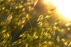 Oat In Sunset Royalty Free Stock Images