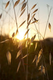 Oat in sunset Royalty Free Stock Photos