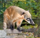 Сoati, genera Nasua and Nasuella, also known as the coatimundi is a member of the raccoon family native  America. Сoati at natural background at zoo Royalty Free Stock Image