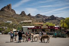 People feeding mules in the City of Oatman on Route 66 in Arizona. Oatman is a town in the Black Mountains of Mohave County, Arizona, United States. Located at royalty free stock photos