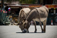 Mules in the City of Oatman on Route 66 in Arizona. Oatman is a town in the Black Mountains of Mohave County, Arizona, United States. Located at an elevation of royalty free stock image