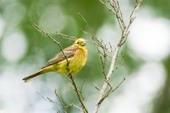 Oatmeal on a branch. Beautiful bird, Russia, village, summer, Emberiza citrinella Stock Image