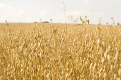 Oats. The ripened ready oats for gathering of yellow color Royalty Free Stock Photo