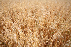 Oats. Golden field of oats closeup at summer royalty free stock photography