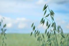 oats royaltyfri foto