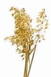 oats Arkivfoto