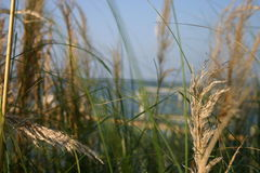 The Oats. A change in perspective with the focus on the seas grass Stock Image