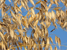Oats against a cloudless blue sky Stock Images