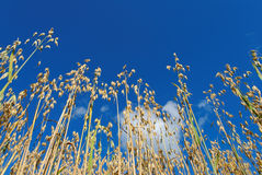 Oats on Blue Sky. Low angle view of oat straws against deep blue sky and a puffy cloud, lit by evening sun Stock Photography