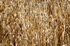 Oats crop Stock Photos