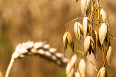 Oats ear. The photo a close up of an ear of oats. at a background wheat ears are visible royalty free stock images
