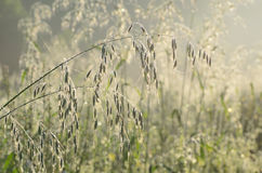 Oats ear. Covered with morning dew stock photos