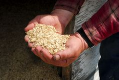 Oats in Farmers Hands Stock Image