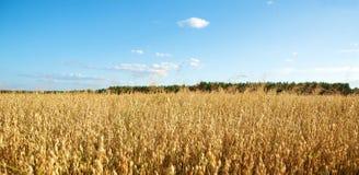 Oats field. Golden oats field in the autumn season Stock Photos