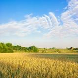 Oats field. Evening view of oats field Stock Photo