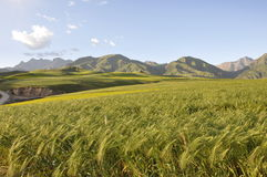 Oats field. And montain on highland Stock Photos