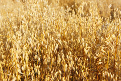 Oats field. The common oat plant (Avena sativa) is a species of cereal grain grown for its seed, which is known by the same name (usually in the plural, unlike stock photo