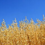 Oats field Royalty Free Stock Photos