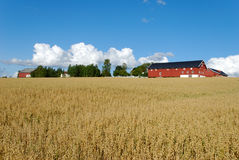 Oats Field and Farm Horizontal. Horizontal image of an oats field with a farm and cloudscape Royalty Free Stock Photography