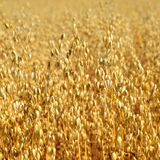 Oats field Royalty Free Stock Images