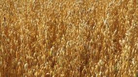 Oats field. Mature ear. stock video