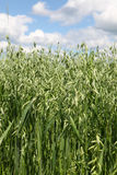 Oats field Royalty Free Stock Photography