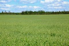 Oats field Stock Photo
