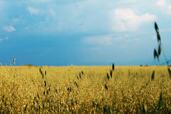 Oats field stock photography