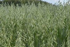 Oats field. Oat, oats field, field with growing oats, green oats, oats cultivation, grain Stock Photography