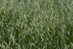 Oats field. Oat, oats field, field with growing oats, green oats, oats cultivation, grain Stock Images