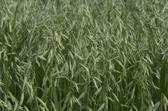 Oats field. Oat, oats field, field with growing oats, green oats, oats cultivation, grain stock images