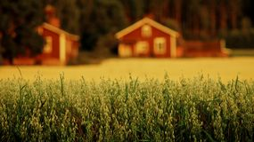 Oats field and red house. Taken in Finland. Field with blurry red house background on sunset Royalty Free Stock Photos