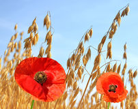 Oats field with red poppy Royalty Free Stock Image