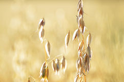 Oats on the field Royalty Free Stock Photo