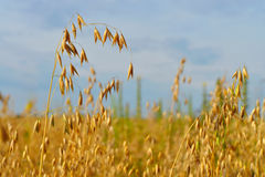 Oats field. Spikelets of oats, oats field and blue sky Stock Image
