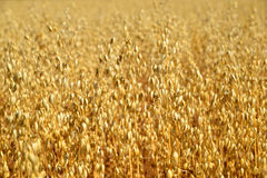 Oats field Royalty Free Stock Photo